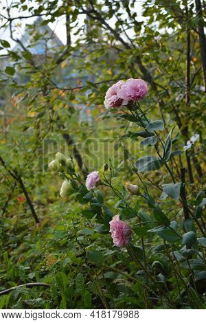 Rural Garden In The Summer With Pink Eustoma Flowers On Foreground.