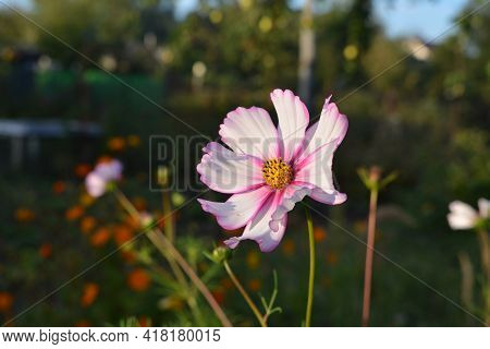Beautiful Cosmos Flower With White Petals With Pink Edges.