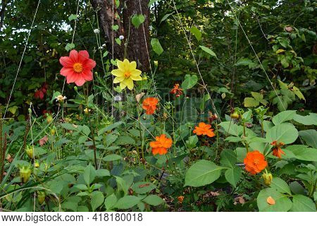 Flowering Plants In Lush Garden In Summer. Bright Dahlia And Cosmos Flowers Among Green Leaves.