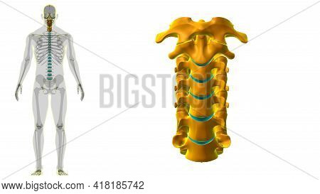 Human Skeleton Vertebral Column Cervical Vertebrae Anatomy 3D