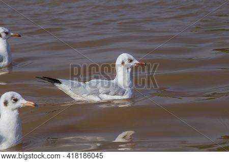 Wild Seagull Floating In Water Inle Lake In Burma, Myanmar. Close Up
