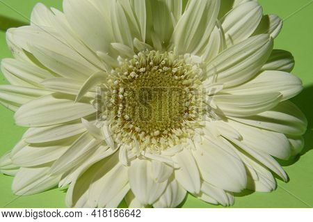 White Gerber Flower Close Up In The Light