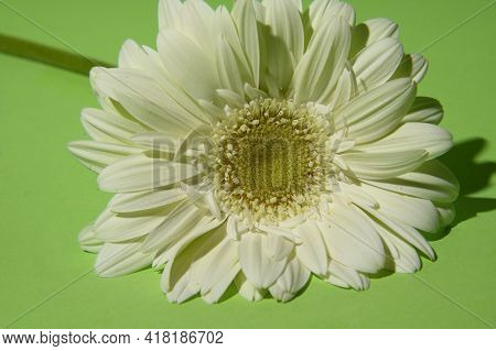 White Gerber Very Nice Flower And Colorful Background