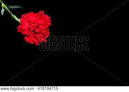 Red Carnations On A Black Background. Red Carnations Isolated On A Black Background. Background For
