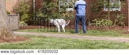 A White Dog On Leash Is Squatting On Someone's Lawn To Poop On The Grass While The Owner Holding The