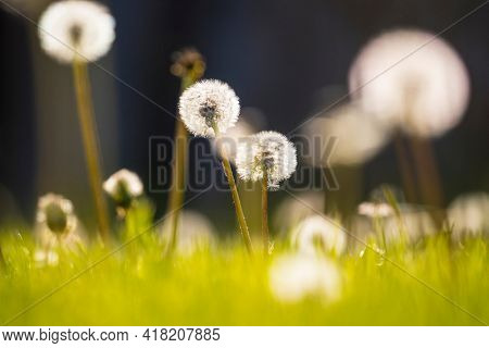 Dandelion in the grass in the spring