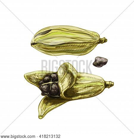 Cardamom Fruit With Seed. Vintage Vector Hatching Color Hand Drawn Illustration Isolated On White Ba