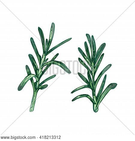 Rosemary Fresh Green Branches And Leaves. Vector Color Vintage Hatching Illustration Isolated On A W