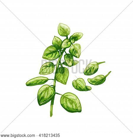 Oregano Fresh Green Branches And Leaves. Vector Color Vintage Hatching Illustration Isolated On A Wh