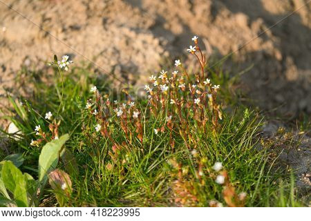 A Flowering Rue-leaved Saxifrage, Saxifraga Tridactylites, In The Sunlight In Springtime