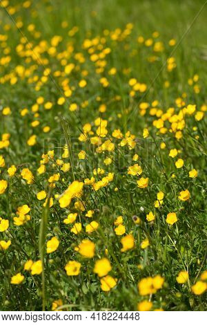 Ranunculus Acris - A Meadow Buttercup, Tall Buttercup, Common Buttercup, Giant Buttercup.