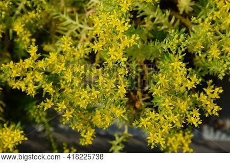 Dill Is An Annual Herb In The Celery Family Of Aplaceae, A Spice For Flavouring Food