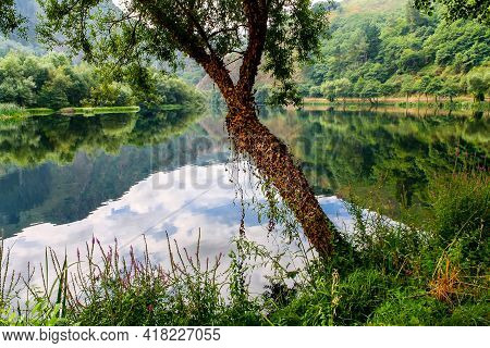 Small Tree Next To The River Surrounded By Ivy And Lush Vegetation. Asturias. Spain.