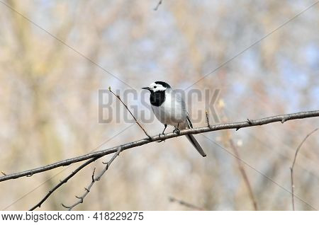 The White Wagtail (lat.motacilla Alba) Is A Small Bird From The Wagtail Family.