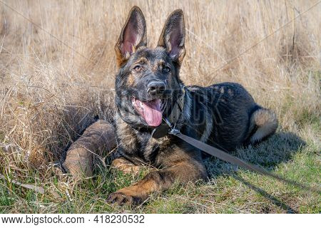 A Dog Portrait Of A Happy Four Months Old German Shepherd Puppy Laying Down In High, Dry Grass. Work