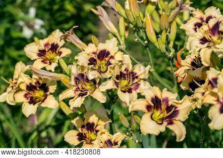 Blooming Cultivar Daylily. Hemerocallis Wild Horses In The Summer Garden