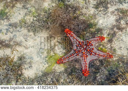 Colorful African Red-knobbed Sea Star At Low Tide On Wet Sand, Zanzibar Island, Tanzania