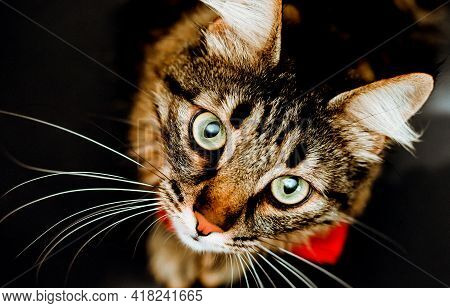 A Furry And Tabby Cat Looks Up At The Camera. A Close-up View Of A Cat On A Black Background. Portra