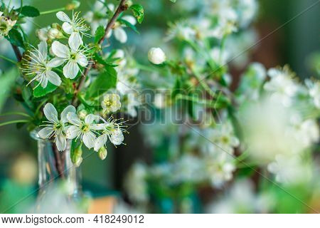 Bouquet Of Delicate White Cherry Blossoms In A Glass Jar With Water In Home Interior. Cherry Blossom