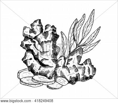 Ginger Plant Arrangement. Outline Vector Illustration With Pile Of Ginger Roots, Leaves And Cut Slic