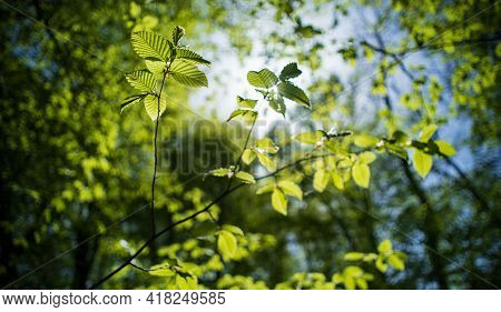 Sunny Day In The Deciduous Forest. Branches Of Common Hazel, Illuminated By Sunlight. Selective Focu