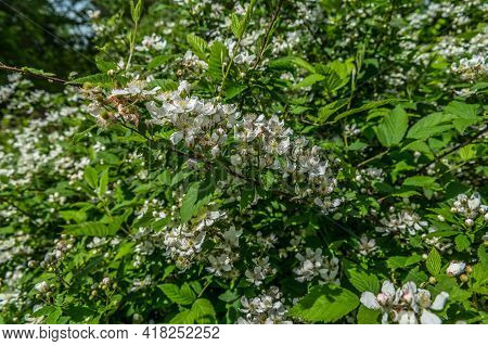 Closeup Of A Uncultivated Blackberry Bush With Little Clusters Of White Flowers That Will Have Fruit