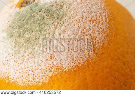 White Green Mold On The Orange Forgotten In The Fridge. Macro Shot Of Fungal Mold On Rotten Citrus P