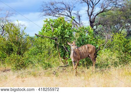 South Africa. The Kruger Park. Gorgeous kudu female grazes among acacia african savannah. Animals live and move freely in the African savannah. The concept of ecological and photo tourism