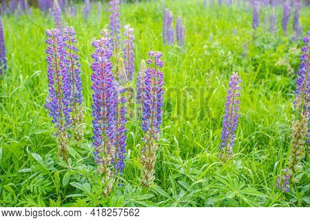 Lupine Field With Pink, Purple And Blue Flowers. Purple Lupine Color.