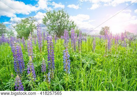 Lupine Field With Pink Purple Flowers And Blue Sky With Clouds. Purple Lupine Color.