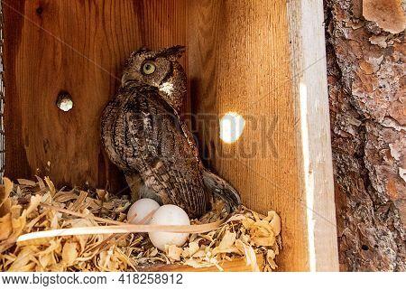 Nesting Female Eastern Screech Owl Megascops Asio With Eggs In A Nest Box In Bonita Springs, Florida