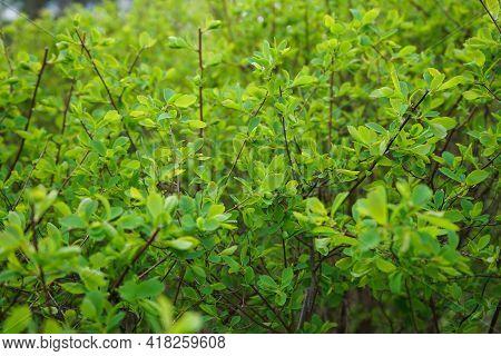 Light Green Bush Texture. Vibrant Bush Texture. Green Shrub In The Garden For Background.