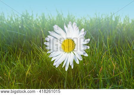 Beautiful Daisy In The Sun. Summer Bright Landscape With Daisy Wildflower In The Meadow. Springtime