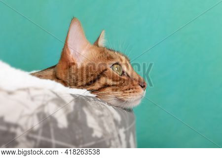 Bengal Cat Dreamily Looks To The Side While Lying In A Cat Bed On A Green Background