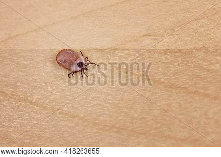 Engorged Tick On Wood. Lyme Disease Caused By Borrelia.