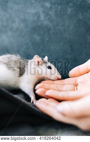 White Funny Decorative Home Rat Sniffs The Hand On A Gray Plaid.