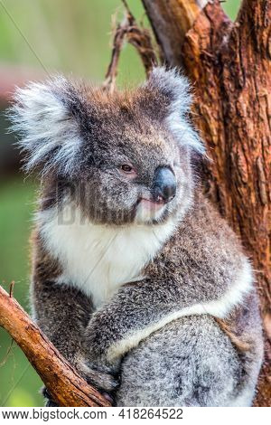 Australian endemic eating eucalyptus leaves. Koala is a marsupial mammal. The only modern representative of the koal family. Ecotourism concept