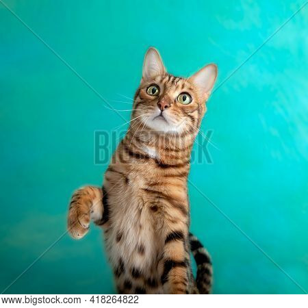 Funny Bengal Cat Playing On A Green Background, Studio Shot