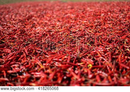 Organic Fresh Red Hot Chili Being Sun Dried On A Local Farm Between Kalaw And Inle Lake In Shan Stat