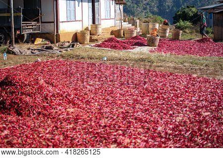 Local Farmers Sun Drying Red Hot Chili On A Farm Plantation, Myanmar