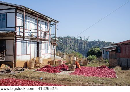 A Local Farmer Distributes Red Hot Chili To Sun Dry On A Farm In Myanmar