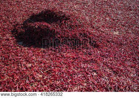 Organic Red Chili Sun Drying On A Local Farm Field In Myanmar