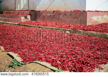 Organic Fresh Red Hot Chili Being Sun Dried On A Local Farm By A House Between Kalaw And Inle Lake I