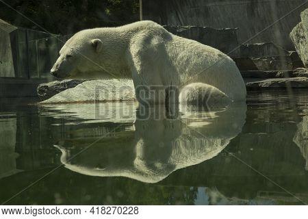 The Polar Bear (ursus Maritimus) In Zoo.