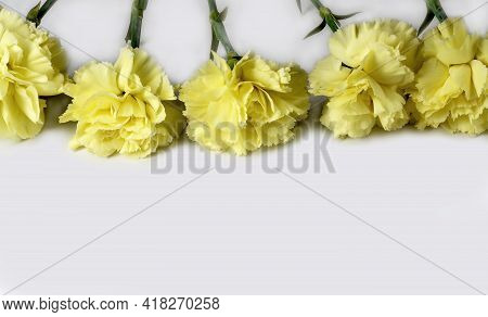 Yellow Carnations On White Background. Carnation Flowers Isolated.
