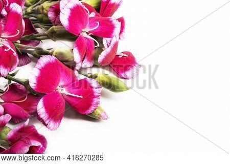 Flowers. Red Cloves Or Dianthus Isolated On White. Red Carnation Flowers Isolated On White Backgroun