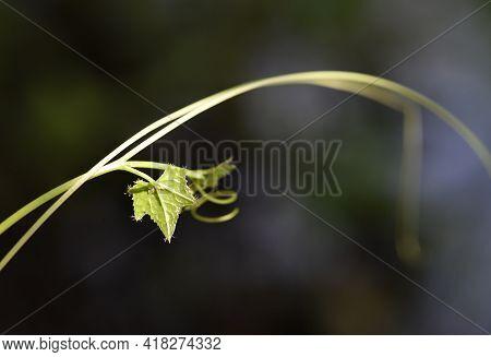 Young Gourd Leaf Or Ivy Gourd Leaf With Black Background .