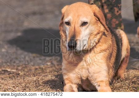 The Russian Hound Is A Large-sized Hunting Dog Breed.
