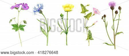 Watercolor Drawing Wild Flowers , Meadow Cranes-bill, Buttercup, Field Thistle And Cornflower, Flora