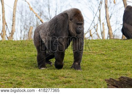 A Closeup Shot Of A Gorilla Walking While Contemplating On A Field Of Green Grass In A Zoo